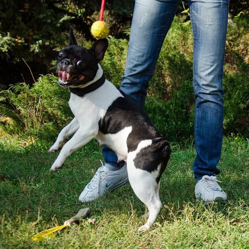 Jouet pour chiot et chien Bouledogue francais «Amusant» - TT4