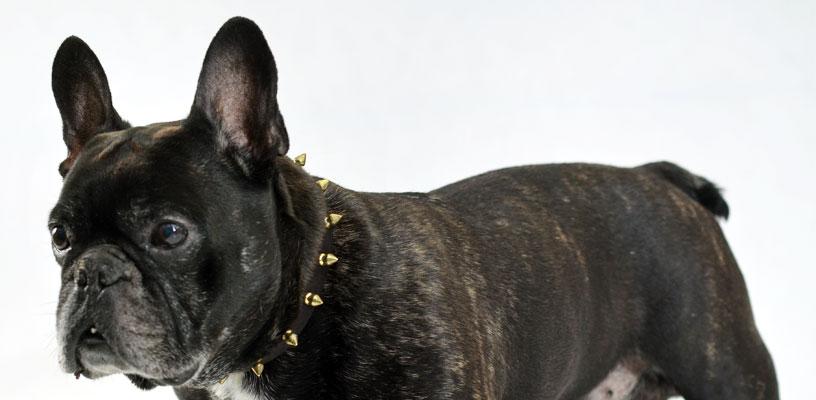 69752ee38e37 Collier clouté en cuir de chien pour Bouledogue Français